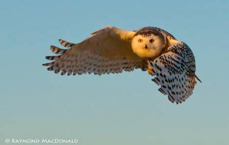 The Snowy Owl Winter of 2013-14