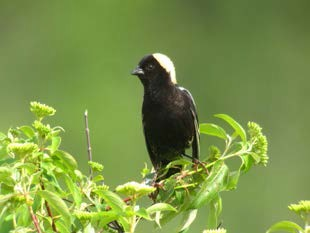 How Much is a Bobolink Worth?