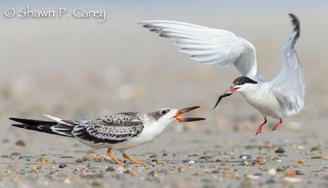 Field Notes: Common Tern