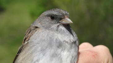 Field Notes: A Banding Record of a White-throated Sparrow x Dark-eyed Junco Hybrid