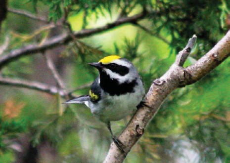 The Buzz on Golden-winged Warblers in Vermont