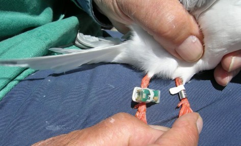 Winter Quarters and Migration Routes of Common and Roseate Terns Revealed by Tracking with Geolocators