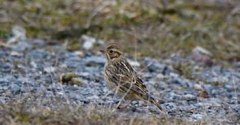The Obscurest of Obscure Birds: Smith's Longspur