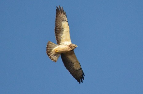 Field Notes: Swainson's Hawk at Bear Creek Sanctuary, Saugus, MA