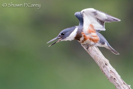 Field Notes: Belted Kingfisher Skims the Water
