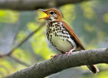 Gleanings: Wood Thrushes Sleeping Around