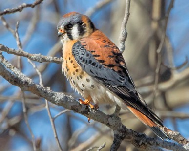 American Kestrel: Can the Decline be Reversed?