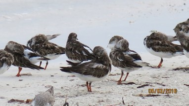 Field Notes: Shorebird Behavior on their Wintering Grounds