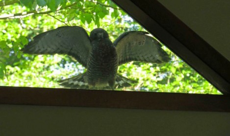 Field Note: Broad-winged Hawk Attacks its Reflected Image
