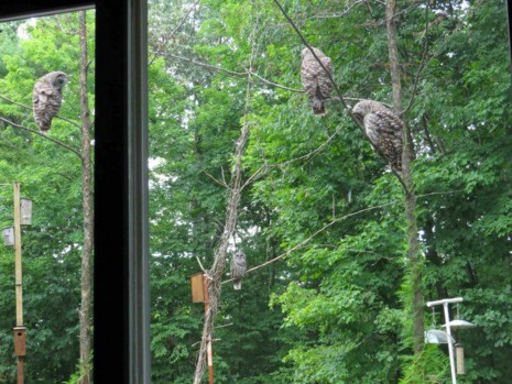 Placing and Protecting Barred Owl Nest Boxes