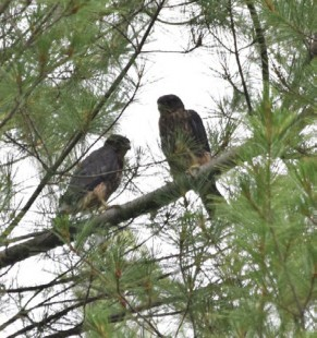 Field Note: The First Documented Nest of Merlins in Worcester County