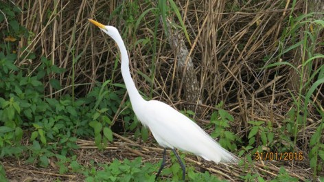 Field Notes: Great Egrets Foraging on Terrestrial Invertebrates in Everglades National Park, Florida