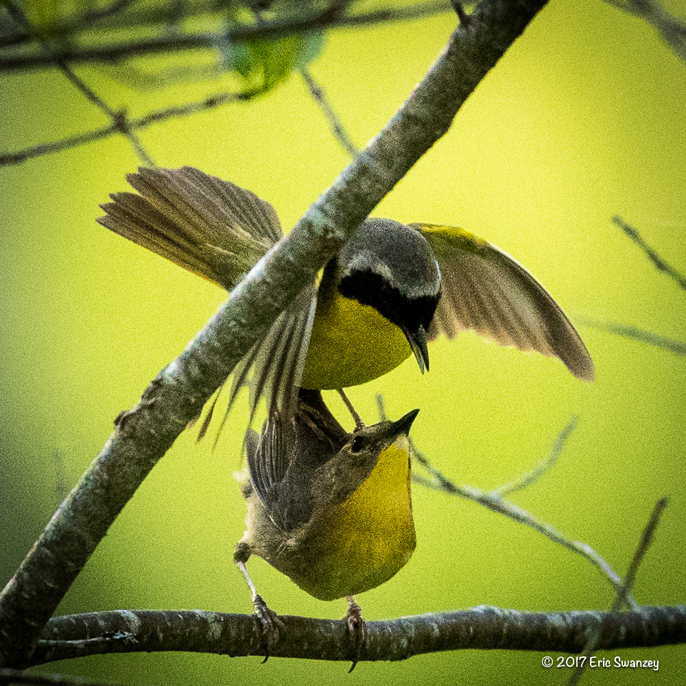 Photo Essay: Common Yellowthroat Courtship and Mating Display