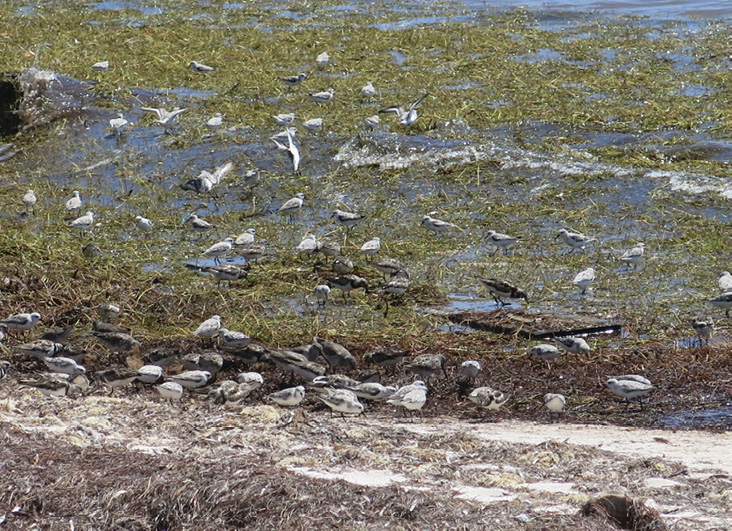 Assets/bo48-4/(Figure_1)sanderlings,_turnstones,_waves.jpg