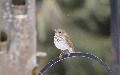 Field Notes: A Hermit Thrush Overwinters at a Worcester Feeder