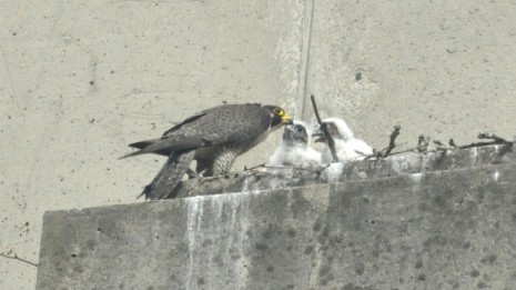 December 2015 A New Peregrine Falcon Nest At Boston University Medical Campus