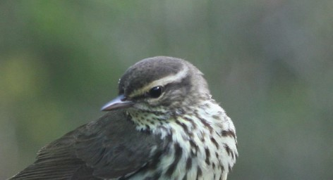 Field Note: Rainy Day Stopover for a Migrating Northern Waterthrush: Runoff Stream on Pavement