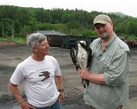 Satellite Tagging of Ospreys in New Hampshire