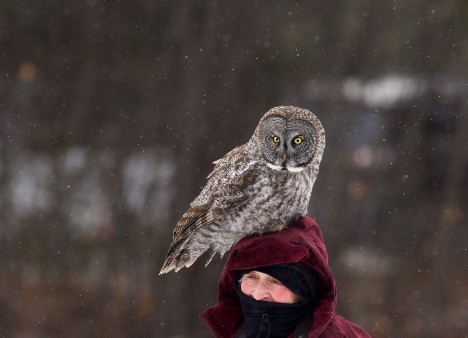Field Notes: Great Gray Owl
