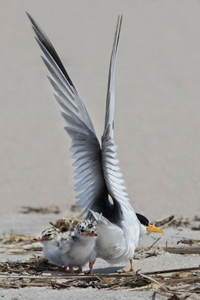 Photo Essay: Least Tern and Chicks