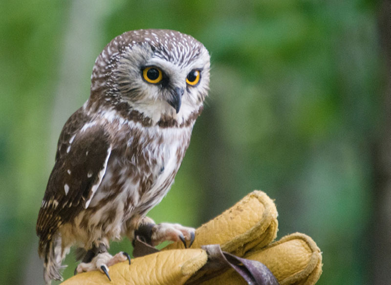 Nonbreeding Vocal Repertoire of Northern Saw-whet Owls