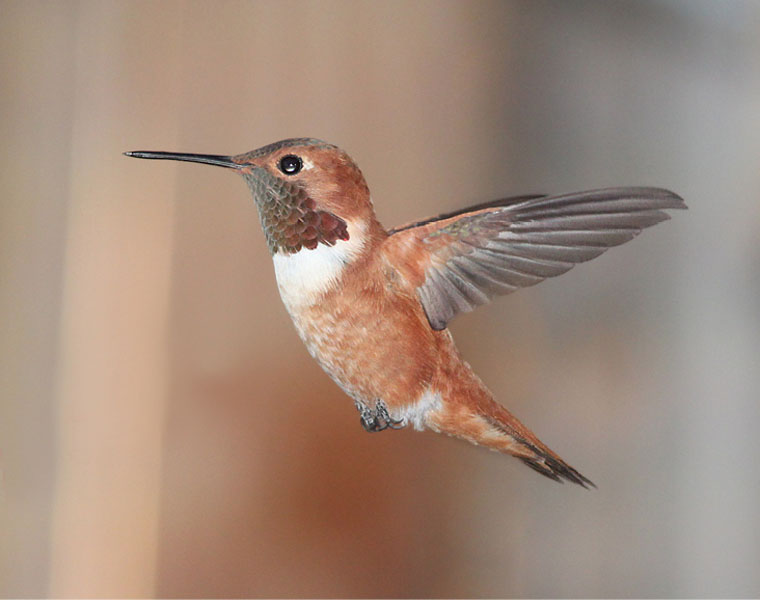Vagrancy of <i>Selasphorus</i> and Other Western Hummingbirds to New England