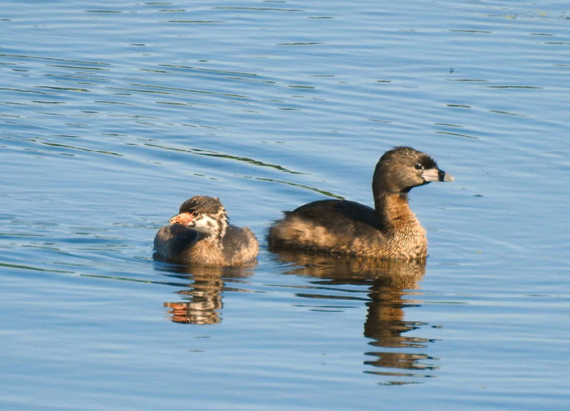 Summer of Pied-billed Grebes