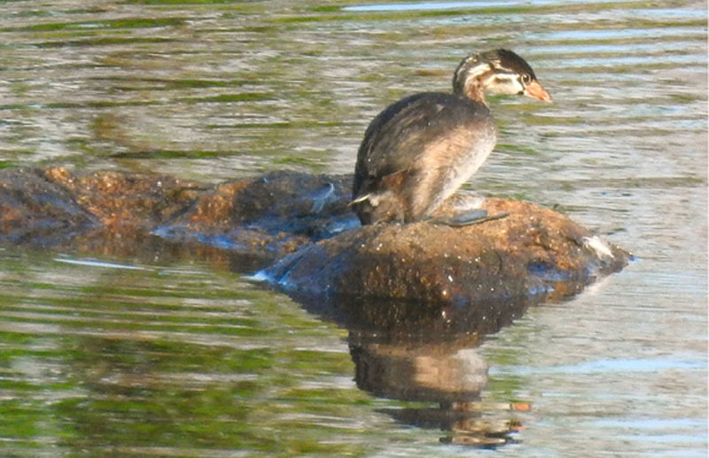 Photo Essay: Pied-Billed Grebe Family