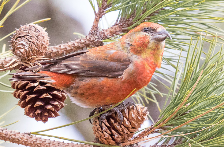 Red Crossbills in Massachusetts and the Northeast: A Possible Irruption in 2017–2018