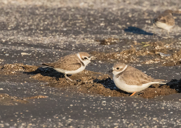 Assets/bo47-1/pipingandsnowyplovers.jpg