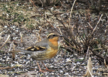 Assets/bo47-2/HB_Varied_Thrush_IMG_0267.jpg
