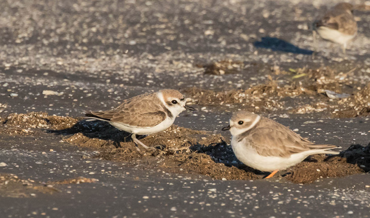 Assets/bo47-2/pipingandsnowyplovers.jpg