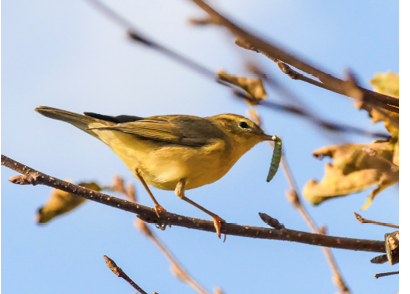 Assets/bo47-2/willow_warbler.png