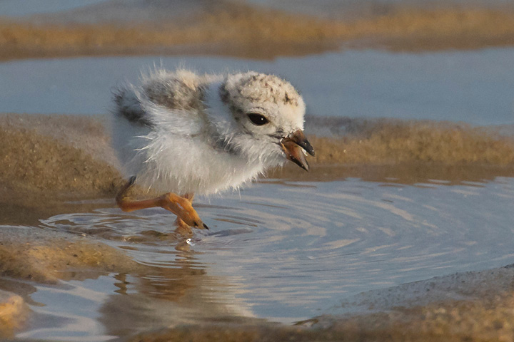 Assets/bo47-4/Piping_Plover_baby_grabs_snack.jpg