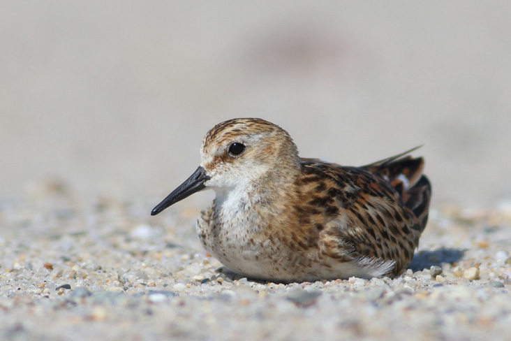 Assets/bo47-6/Little_Stint.jpg