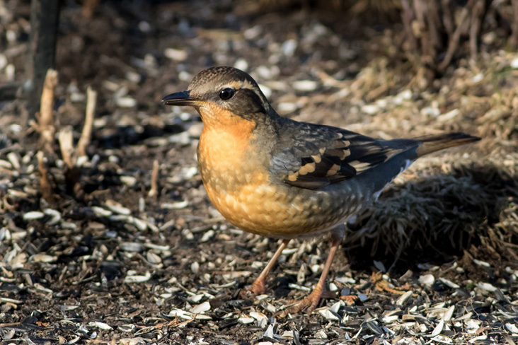 Assets/bo47-6/Varied_Thrush.jpg