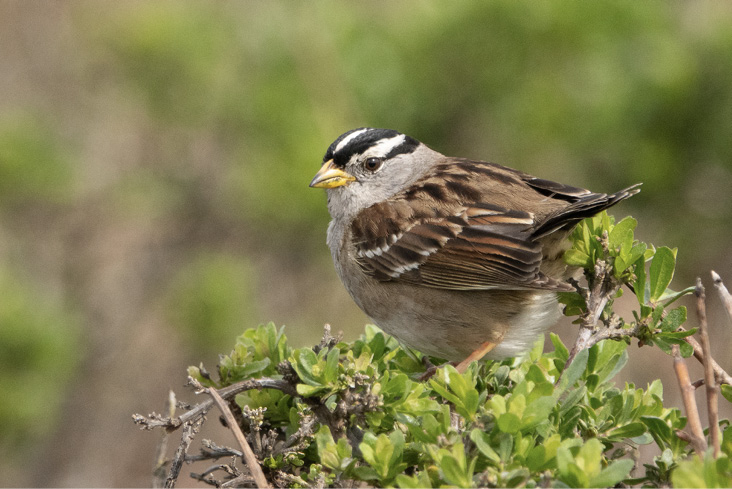 Assets/bo48-2/White-crowned_Sparrow_Fish_Docks_Pt_Reyes_Marin_CA_2019-03-04_12-10-49_(48032342613).jpg