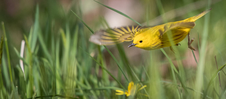 Yellow Warbler by Eric Swanzey