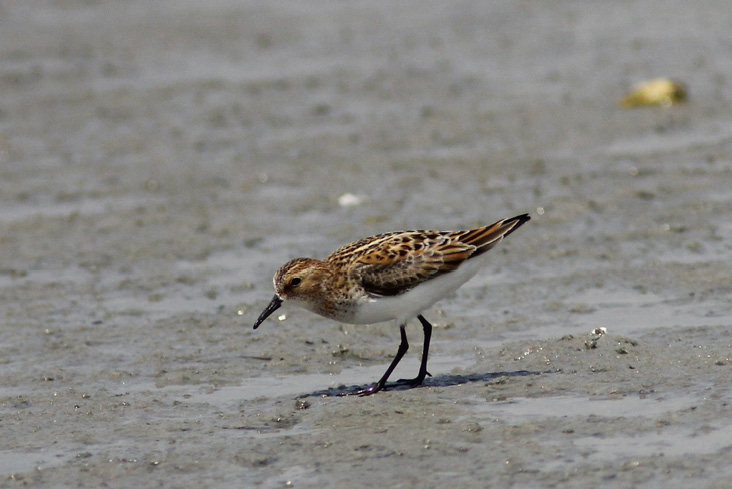 Assets/bo49-1/2012-7__Little_Stint__Ph1-Pedro-4July2012_copy.jpg