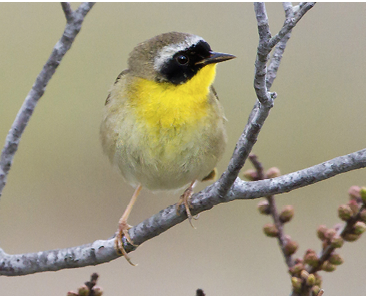 Assets/bo49-1/Common_Yellowthroat_warbler.png